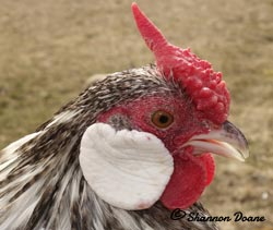 Barred Rosecomb cockerel owned by Shannon Doane