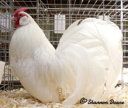 White Rosecomb cockerel owned and shown by Shannon Doane