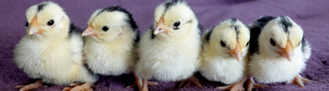 Rosecomb Chick sitting in pink flowers